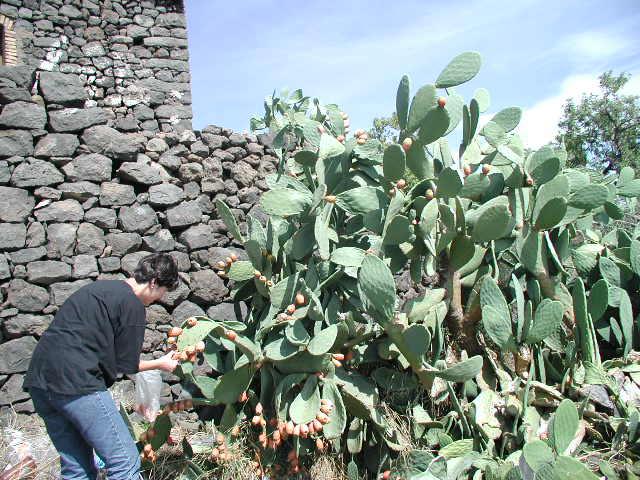 Fügekaktusz-szüret az Etna nyugati oldalán