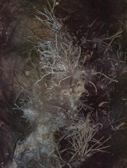 Vasvirág (aragonit) az Ochtinai-barlangban